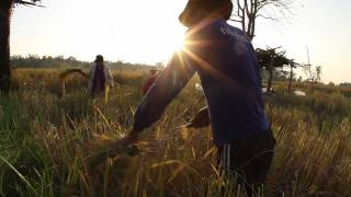 preview picture of video 'Rice Harvest 2011 Khon Kaen, Thailand'