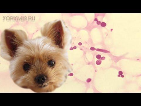 Фолликулит у собак | Причины | Симптомы | Лечение.