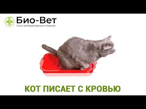 Кот или Кошка писает с Кровью? / Причины и Лечение / Сеть Ветклиник Био-Вет