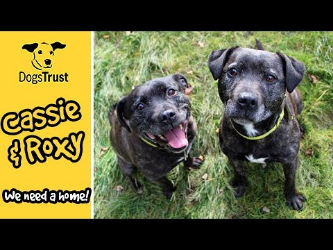 Charming Duo Cassie and Roxy Are Looking For A Home Together | Dogs Trust Darlington