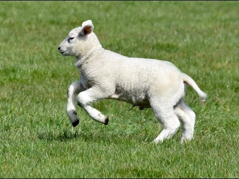 Happy Lambs Playing in the Pasture