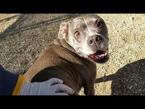 Heidi, an adoptable Boxer & American Staffordshire Terrier Mix in Pasadena, CA