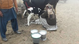(394)Beautiful cow for sale in Pakistan and YouTube