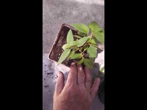 Iodine laban kuko halamang-singaw sa iyong mga kamay