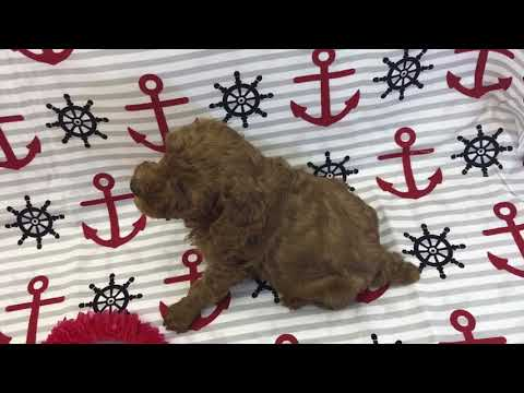 Andy red boy toy poodle