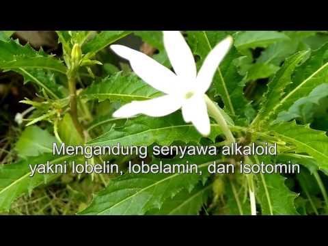 Video Obat Mata Minus, Plus, dan Silinder (Bunga Kitolod) - Eye medicine (Kitolod Flower)