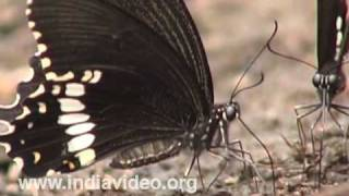 Common Mormon or Papilio polytes