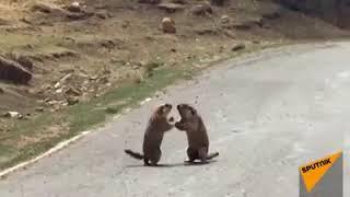 Драка двух сурков попала на видео