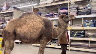 Camel Walks Into Pet Store