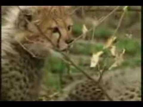 غزال يخدع الفهد والضبع  سبحان الله