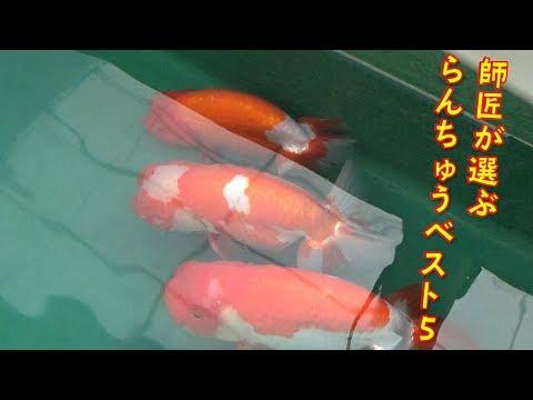 【らんちゅう日記#2】師匠厳選!師匠のらんちゅうベスト5!!