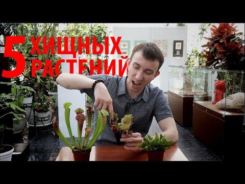Плотоядные растения: венерина мухоловка, росянка, непентес, саррацения, жирянка. Сергей Куницын