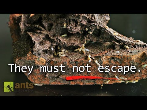 Termite Queen Lays 10000 Eggs in Massive Termite Farm