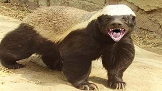 Genius Honey Badger Pulls Off A Daring Escape That Has To Be Seen To Be Believed
