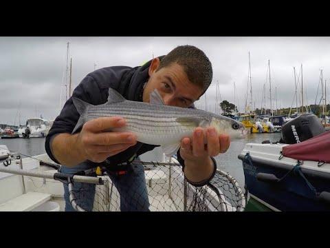 Multefiskeri i lystbådehavnen