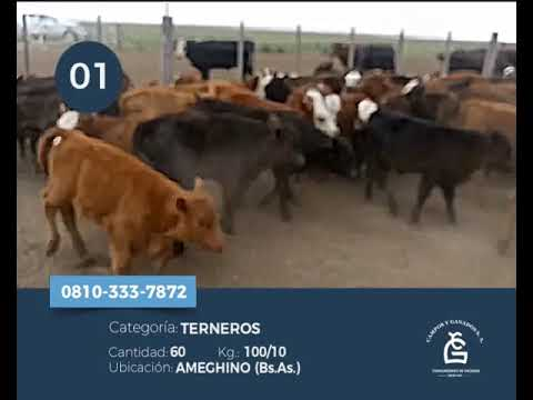 Lote Machos - Ameghino