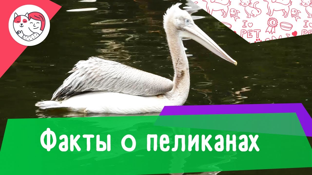 5 необычных фактов о пеликанах