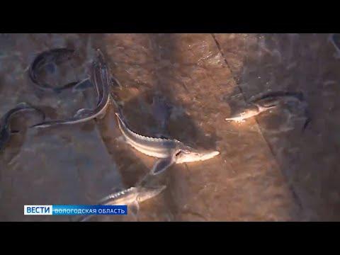 В Вологодской области восстанавливают популяцию краснокнижной стерляди