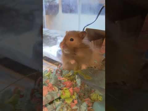 Smokey, an adoptable Hamster in Bellingham, WA_image-1
