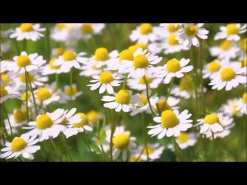 Plante pentru diabet zaharat