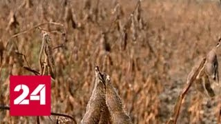 В Амурской области спасают рекордный урожай сои - Россия 24