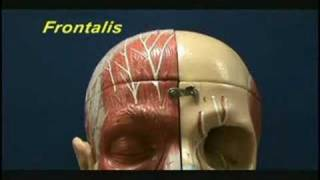 Facial Muscles - Eye and Forehead