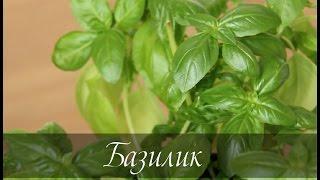 Смотреть онлайн Как вырастить базилик на подоконнике из семян