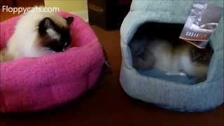 Ragdoll Cats Receive Urban Paw Luxury Cat Beds For Review - ねこ - ラグドール - Floppycats
