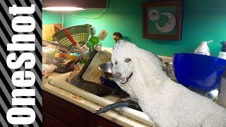 THE WORLD'S CHEAPEST POODLE IS KITCHEN NIGHTMARES - IF TRENDING VIDEOS WERE HONEST