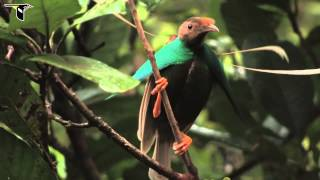 Standardwing Bird-of-Paradise