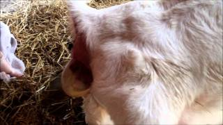 goat gives birth to twins
