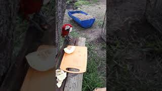 Murphy scarlet winged macaw helps Jarryd prepare treats