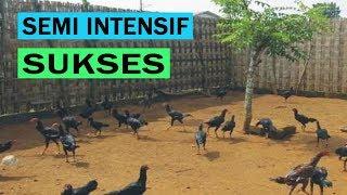 Ternak Ayam Kampung Pemula Semi Intensif [CARA & PANDUAN] Lengkap