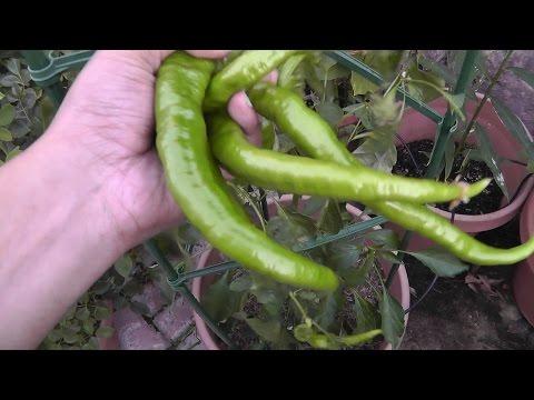 , title : 'Pepper Plant Profile - Cayenne Pepper