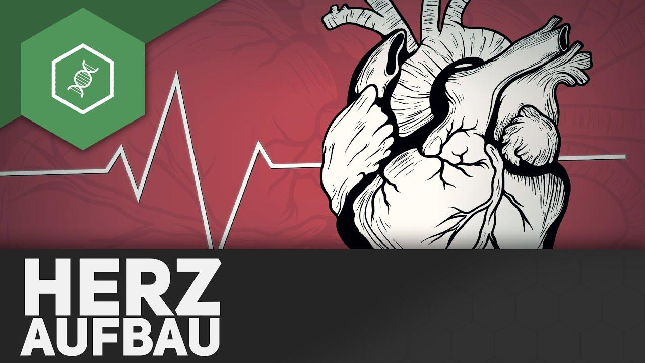 Der Aufbau des Herzens - TheSimpleBiology