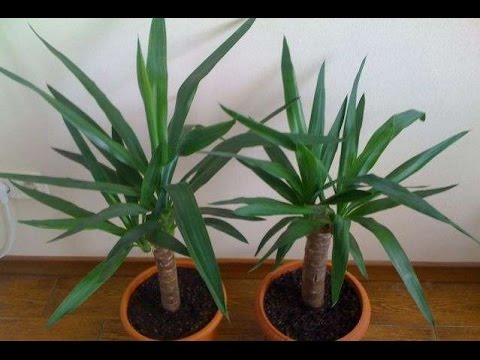 ЮККА - неприхотливое комнатное растение. Рекомендации по уходу