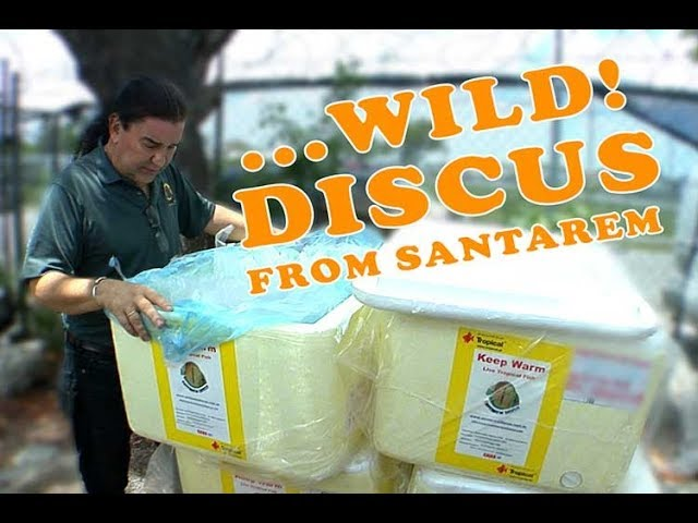 Wild Discus From Amazon River (Santarem Discus)