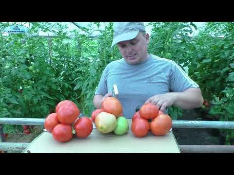 ТРИ очень урожайных  сорта помидоров- обзор!