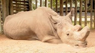 Sudan, Badak Putih Jantan Terakhir Telah Mati, Spesies Ini Terancam Punah Jika Bayi Tabung Gagal