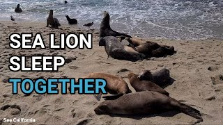 Sea Lion Sounds, Sleep Together