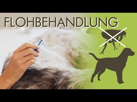 Flöhe beim Hund - Diese Mittel bieten optimalen Schutz vor Befall