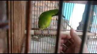 preview picture of video 'Cucak ijo Dori Padang-dharmasraya(02-05-2013)'