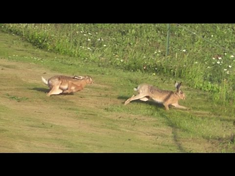 Hares chasing each other - Hasenjagd (Lepus europaeus)