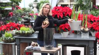 What to do with your Amaryllis bulb for Christmas?