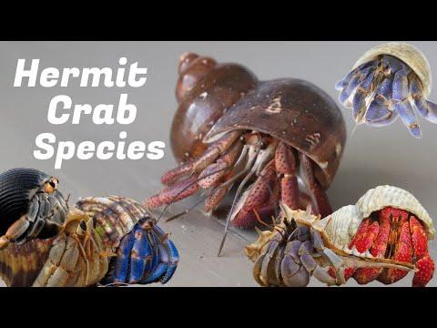 Hermit Crab Species Guide