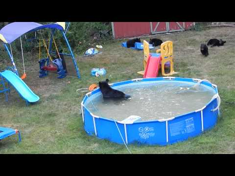 Family of black bears has pool party in new jersey the markozen blog for Bears in swimming pool new jersey