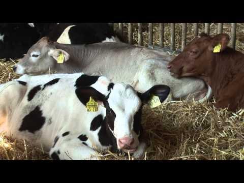 Vom Kalb zur Kuh