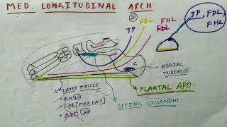 medial longitudinal arch of foot