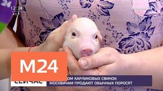 Перед Новым годом в России резко вырос спрос на мини-пигов - Москва 24