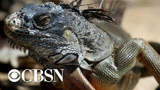 Florida declares open season on green iguanas